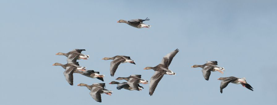 Goose Shooting Wildfowling Holidays in Scotland - Homepage